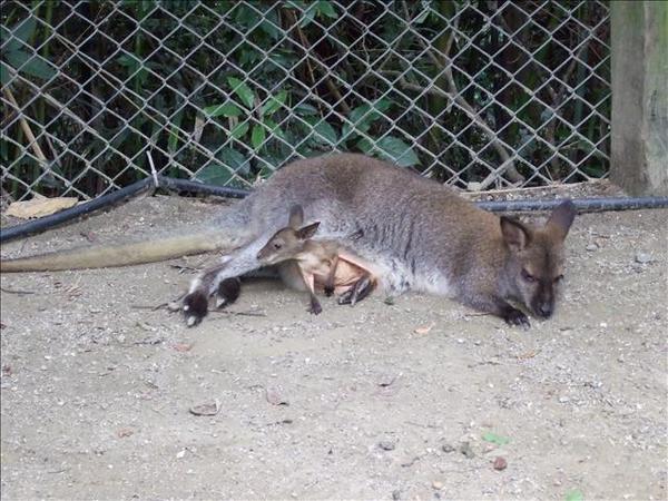 袋鼠+小袋鼠