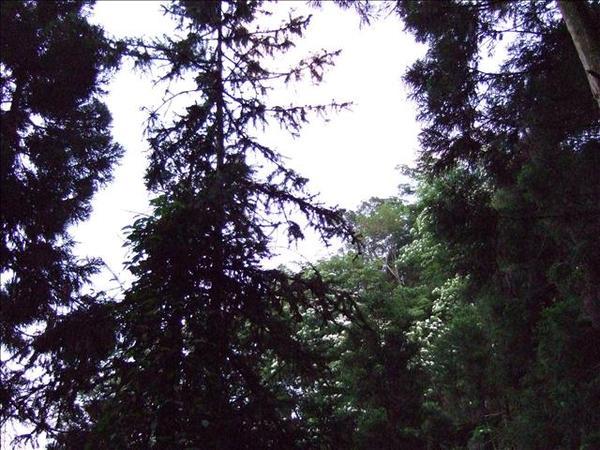 油桐花隱藏在枝葉間