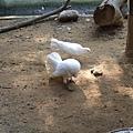 尾巴很漂亮的白鳥