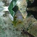 某魚---臉好像李登輝XD