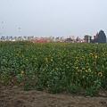 連花卉也是「太陽花」XD