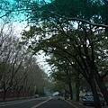勝利路上的綠色隧道 兩邊都是成大校園 一整個美