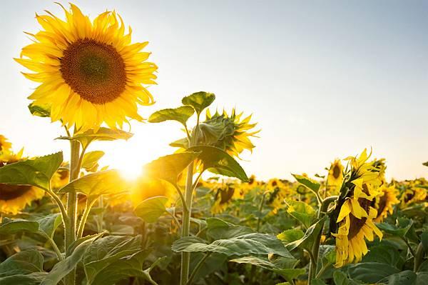INBV-Sunflowers-1-shutterstock.jpg