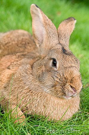 棕色兔宝宝草兔子-15533739