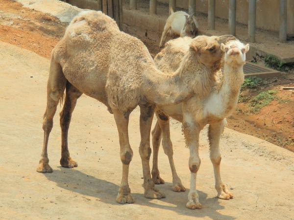 右邊的是<白駱駝>,瞧~它俩的感情多好XD