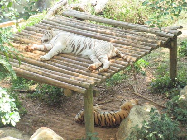 稀有的白老虎.....太熱了,每次去,它都在睡覺.....