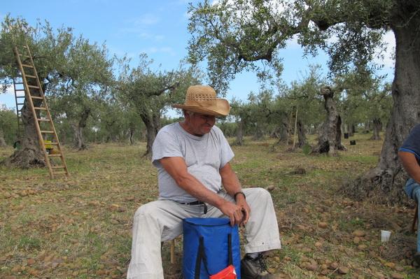 2011橄欖採收26.jpg
