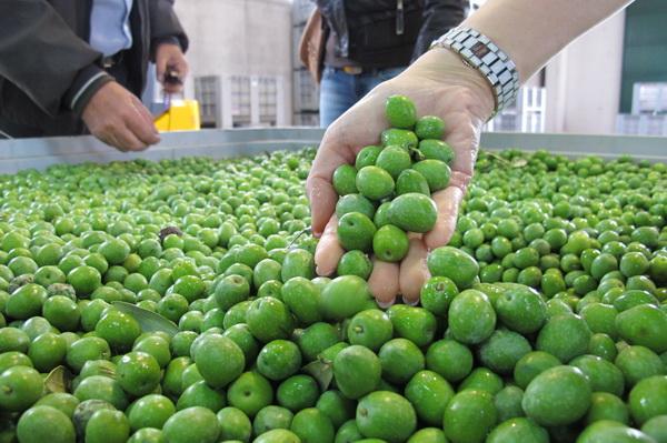 2011橄欖採收07.jpg