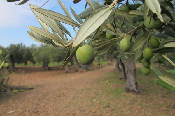 2011橄欖採收11.jpg