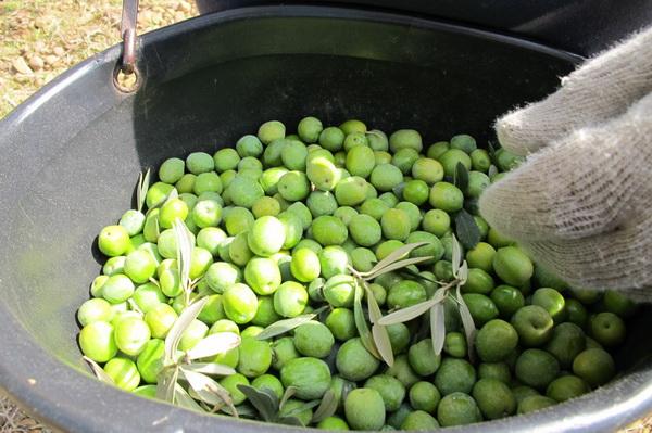 2011橄欖採收13.jpg