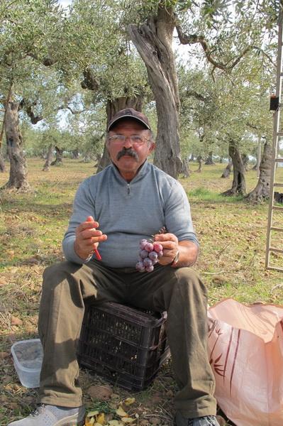 2011橄欖採收22.jpg