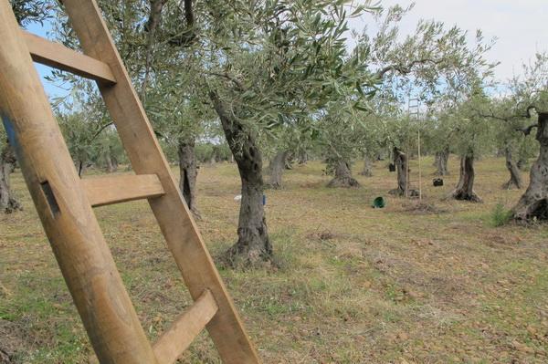 2011橄欖採收25.jpg