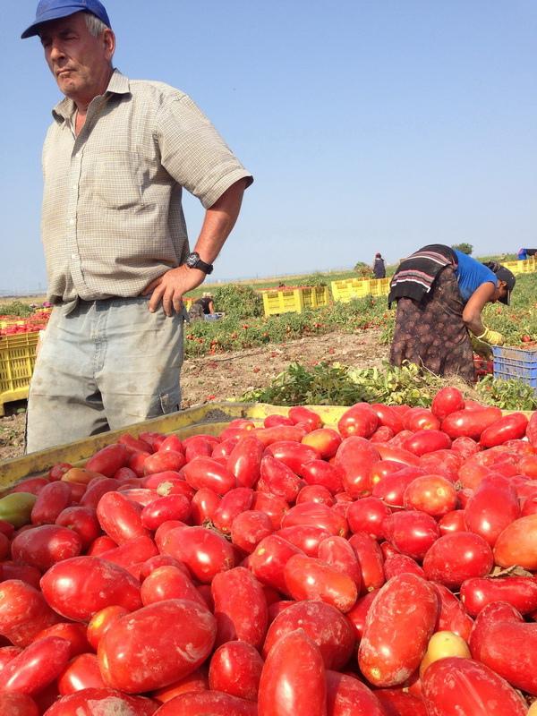 ORO番茄採收之旅10.jpg