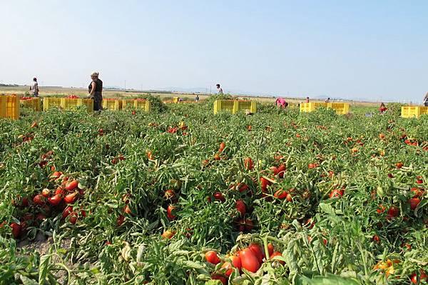 ORO番茄採收之旅11.jpg