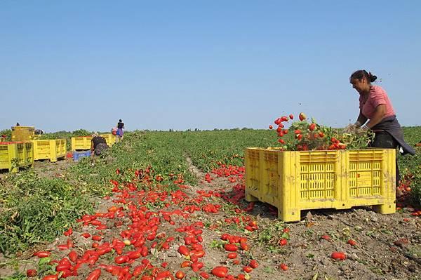 ORO番茄採收之旅12.jpg