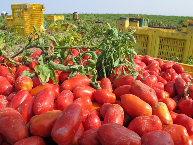 ORO番茄採收之旅13.jpg