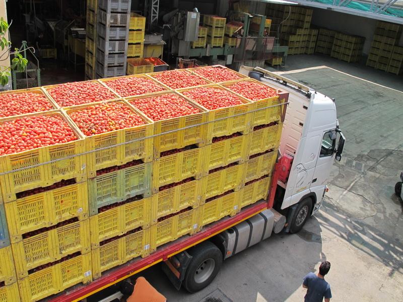 ORO番茄採收之旅14.jpg