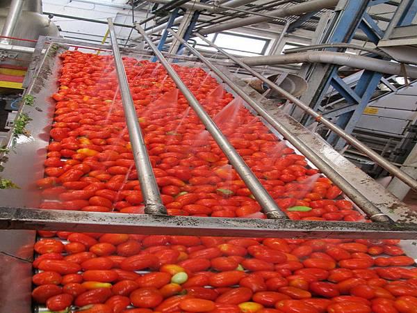 ORO番茄採收之旅16.jpg