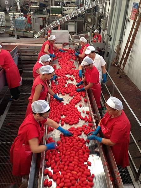 ORO番茄採收之旅17.jpg