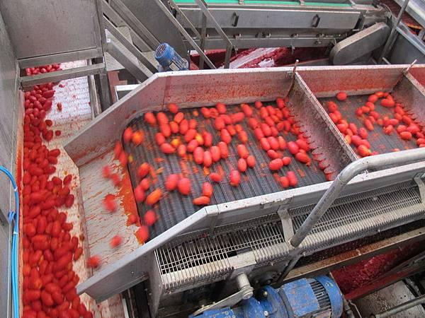ORO番茄採收之旅18.jpg