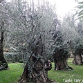 Giurlani老樹橄欖油.jpg