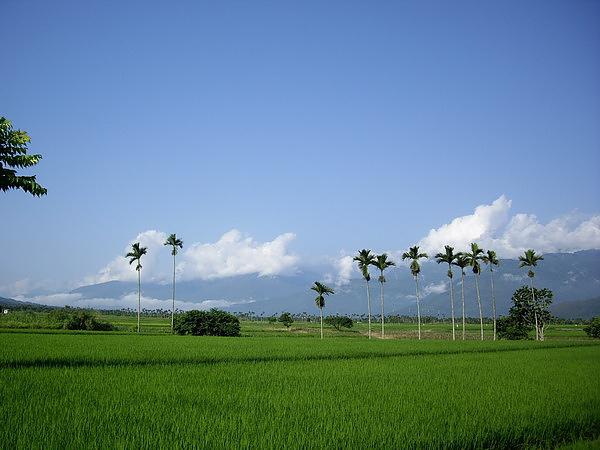 綠油油的稻田.jpg