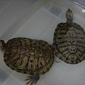 聖誕夜的雙龜