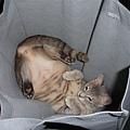 袋子裡的貓