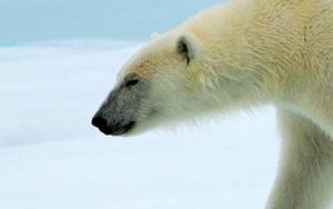 北極熊特寫