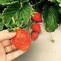 草莓,好大顆!