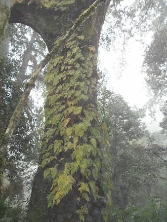 拉拉山神木群11