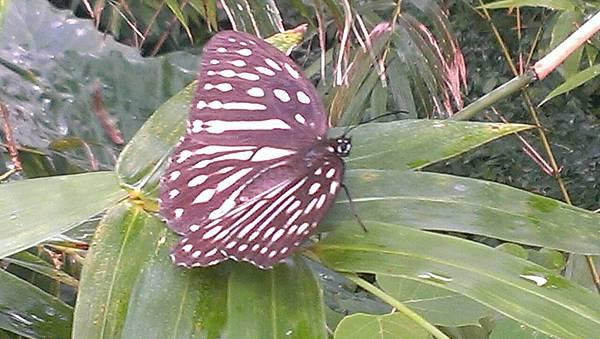 白斑條蔭蝶