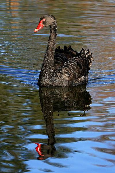 20080507204813_black-swan