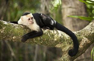 capuchin_monkey_0811.jpg