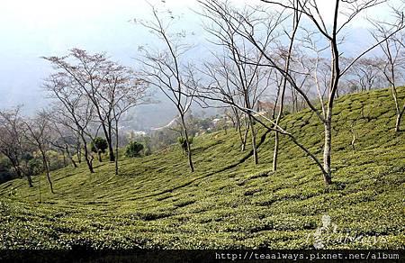 20130308瑞希赫百年茶樹1