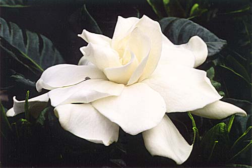 gardenia-e.jpg