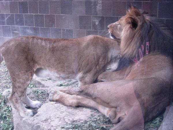 母獅蹭公獅