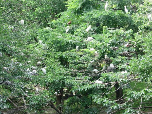 長了滿樹的鷺鷥