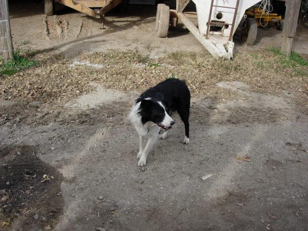 邊境牧羊犬