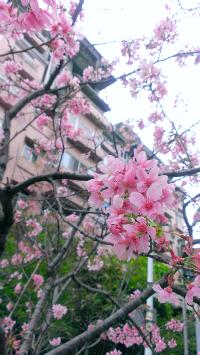 台北櫻花1