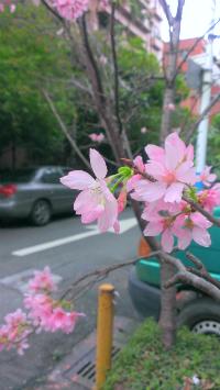 台北櫻花2