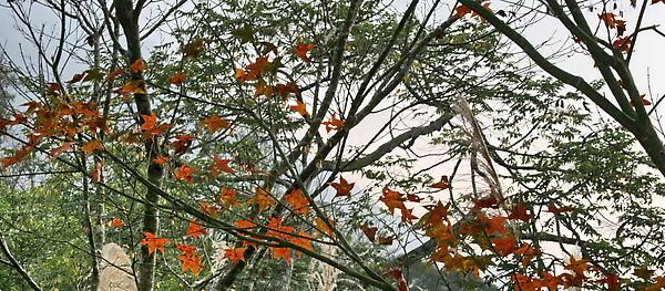 回程偶然看見的楓樹