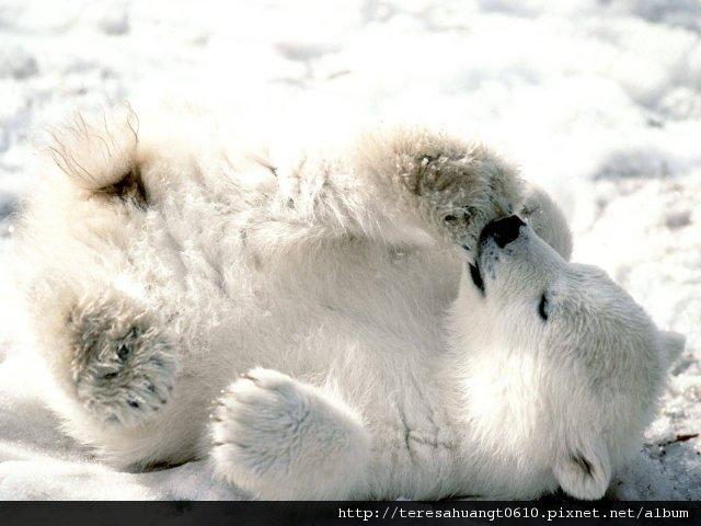 Baby_Polar_Bear-.jpg
