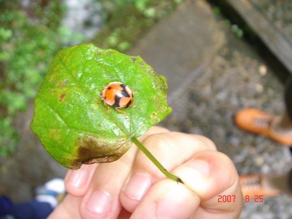可愛小瓢蟲