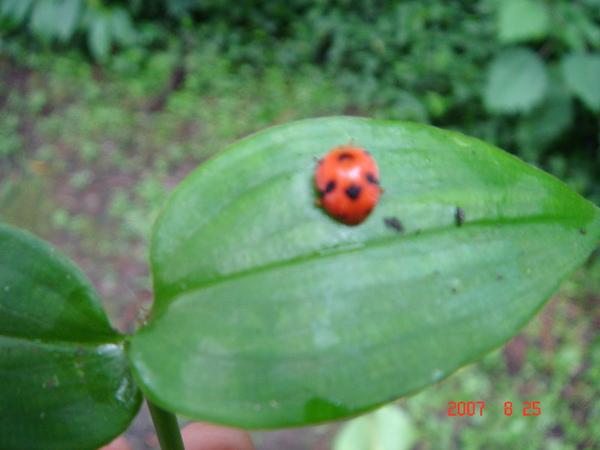 超級可愛小瓢蟲