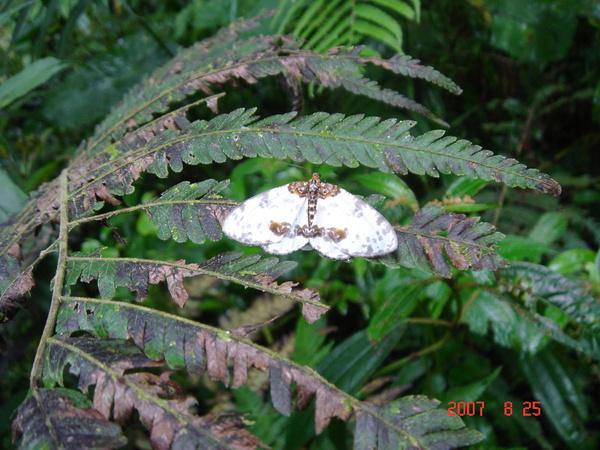 這隻蛾的背面有美麗的圖案