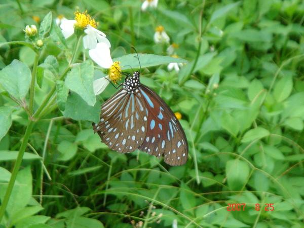 一隻台灣很常見的蝴蝶