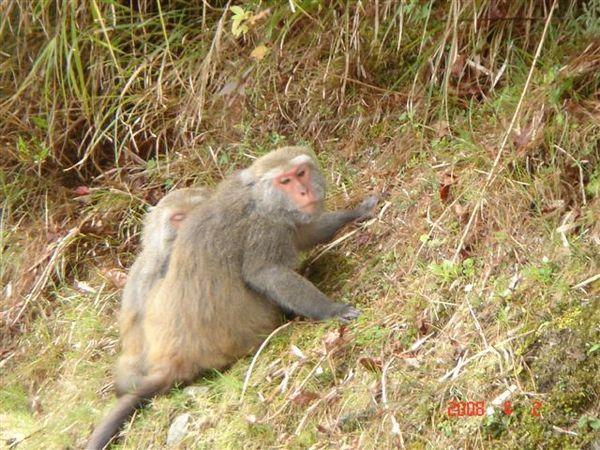 新中橫塔塔加段沿途都可以看見很多獼猴