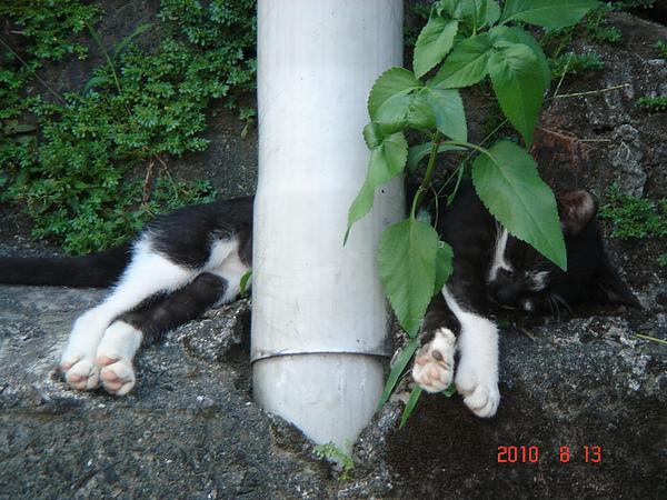 電線杆下睡著一隻黑白貓