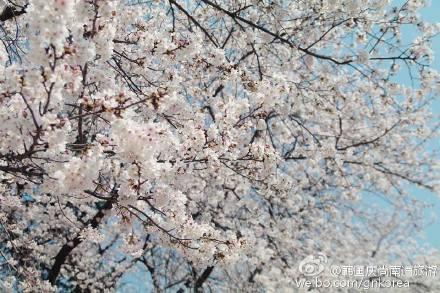 樱花8.jpg